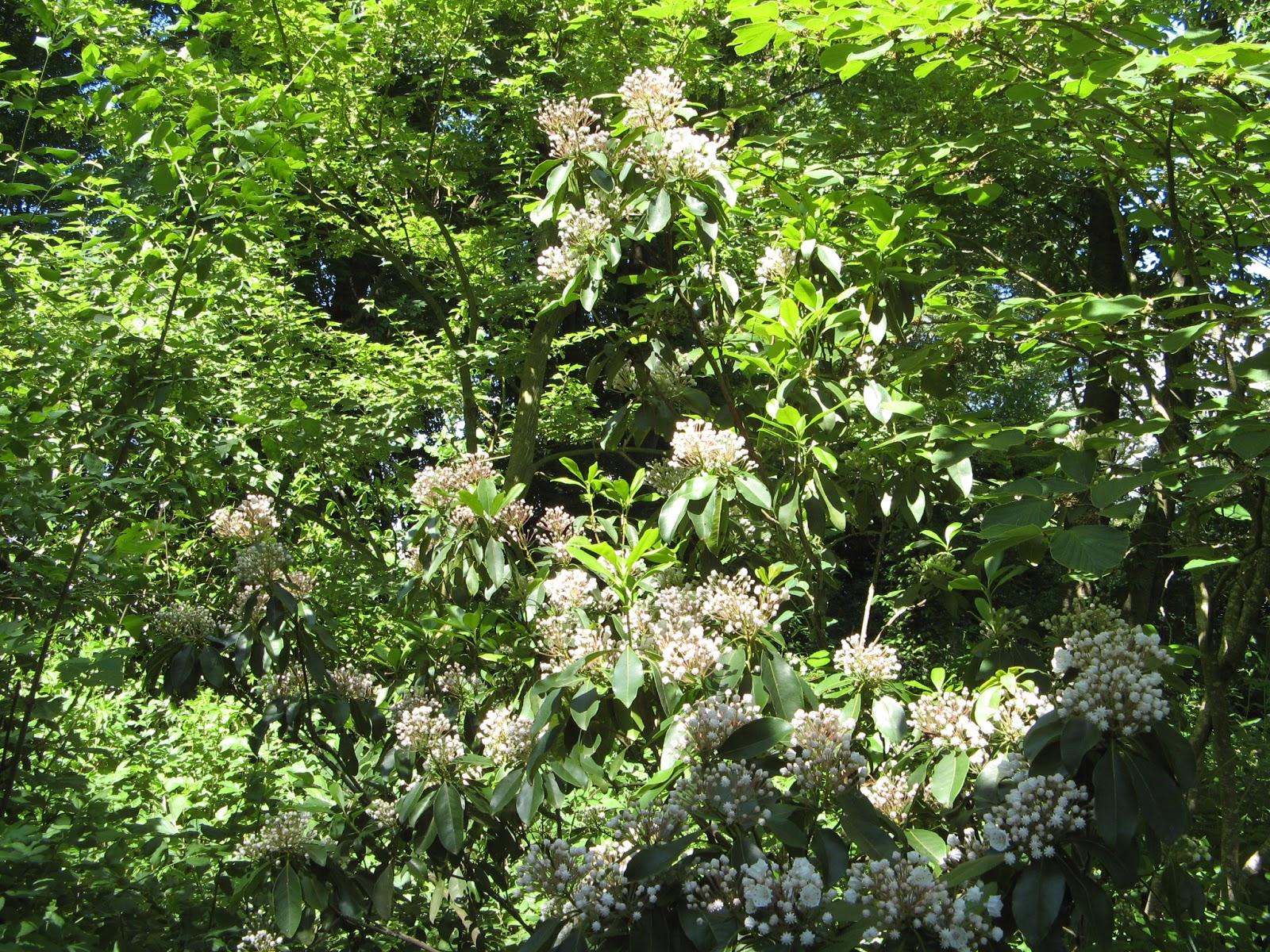 Le Jardin De Brigitte Alsace Kalmia Latifolia