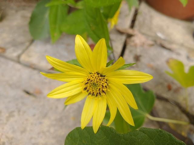Helienthus 'Lemon Queen'