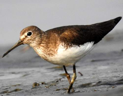 Birds of India - Image of Green sandpiper - Tringa ochropus