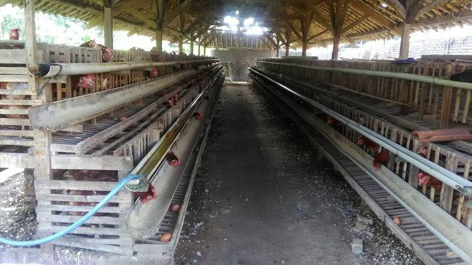 Cara Membersihkan Kandang Ayam Petelur - Belajar Agribisnis