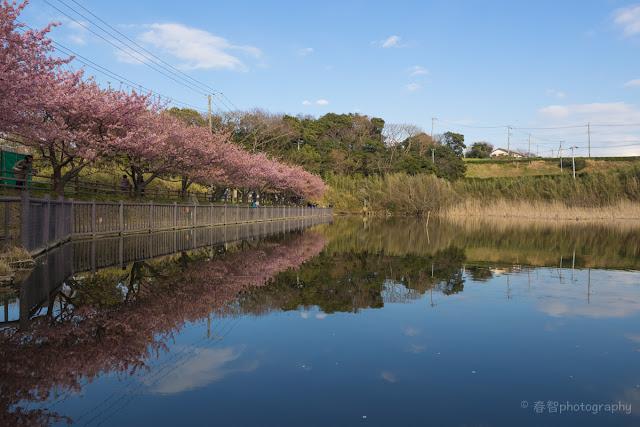 河津桜 池
