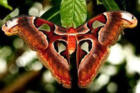 Mariposa Atlas attacus - uma das maiores do mundo