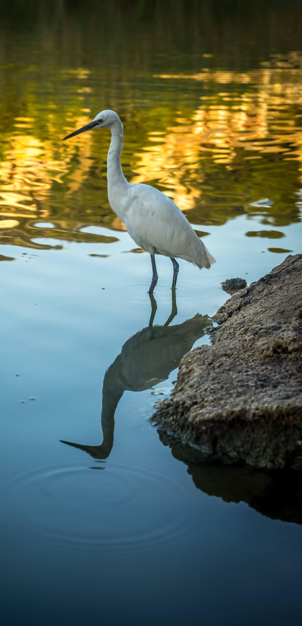 Great egret at a river bank.