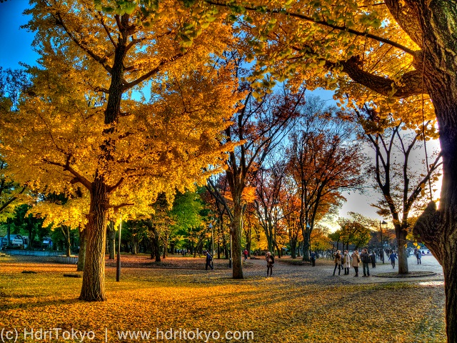 ginkgo trees with yellow leaves in late afternoon, shadows on dead  leaves