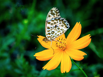 Satokimadarahikage (Neope goschkevitschii) butterfly: Kita-kamakura