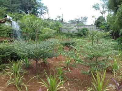 Jual pohon ketapang kencana di bogor - tukang rumput bogor