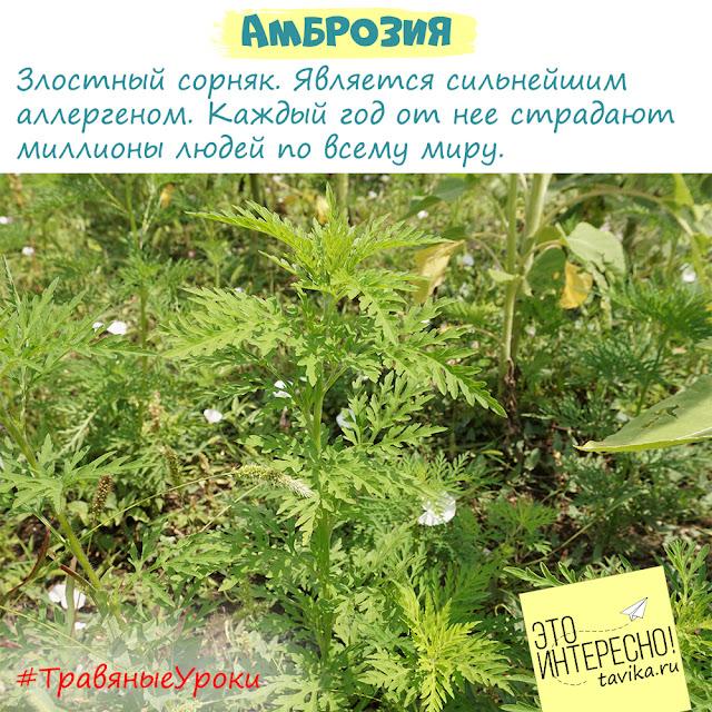 детям про опасные растения - амброзия