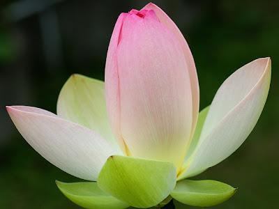 Hoa sen đẹp nhất