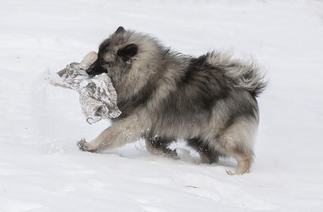 pies,szpic,wilczy,zima,snieg,wies,antymiasto,