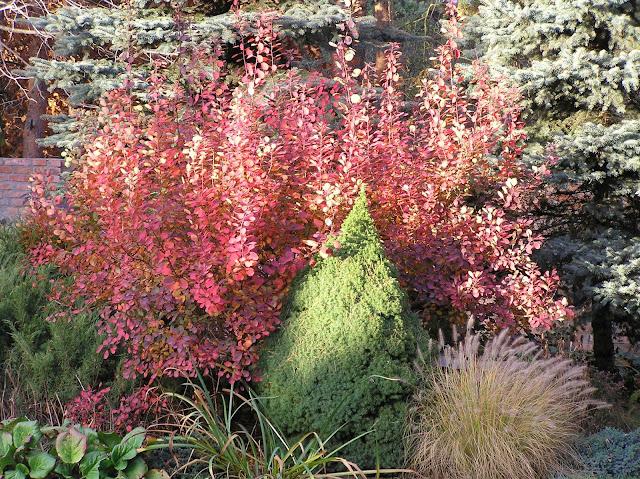 perukowiec i rozplenica jesienią