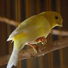 Cara Mengatasi Burung Kenari Yang Sering Menggigit Ring