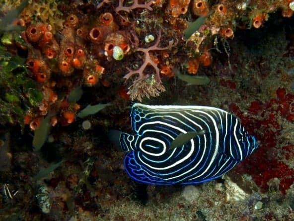 Peixe Angel Imperador - Os 10 Peixes mais bonitos do Mundo