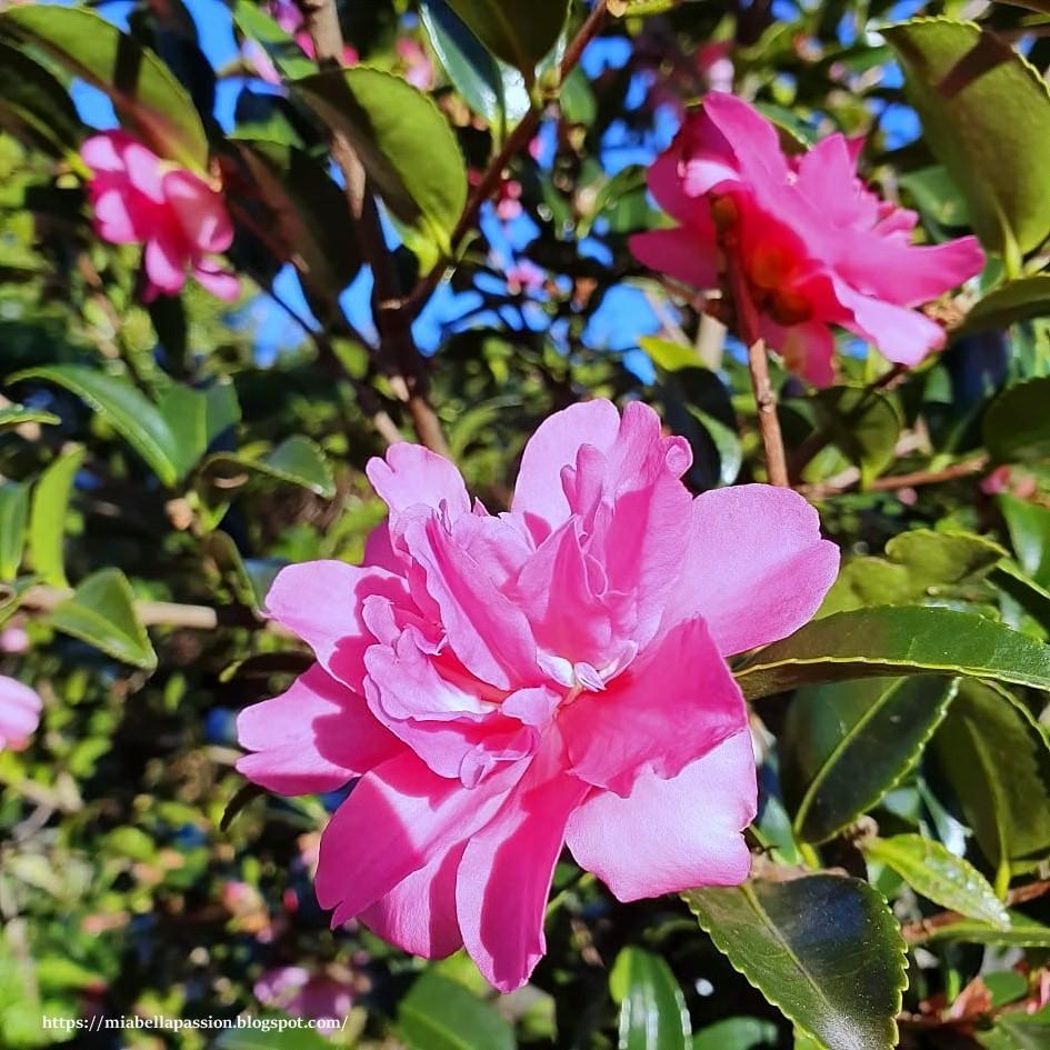 The Beautiful Camellia Sasanqua