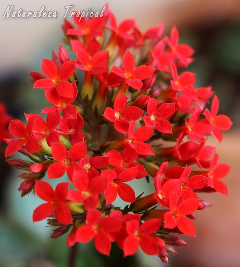 Floración de la planta Kalanchoe blossfeldiana