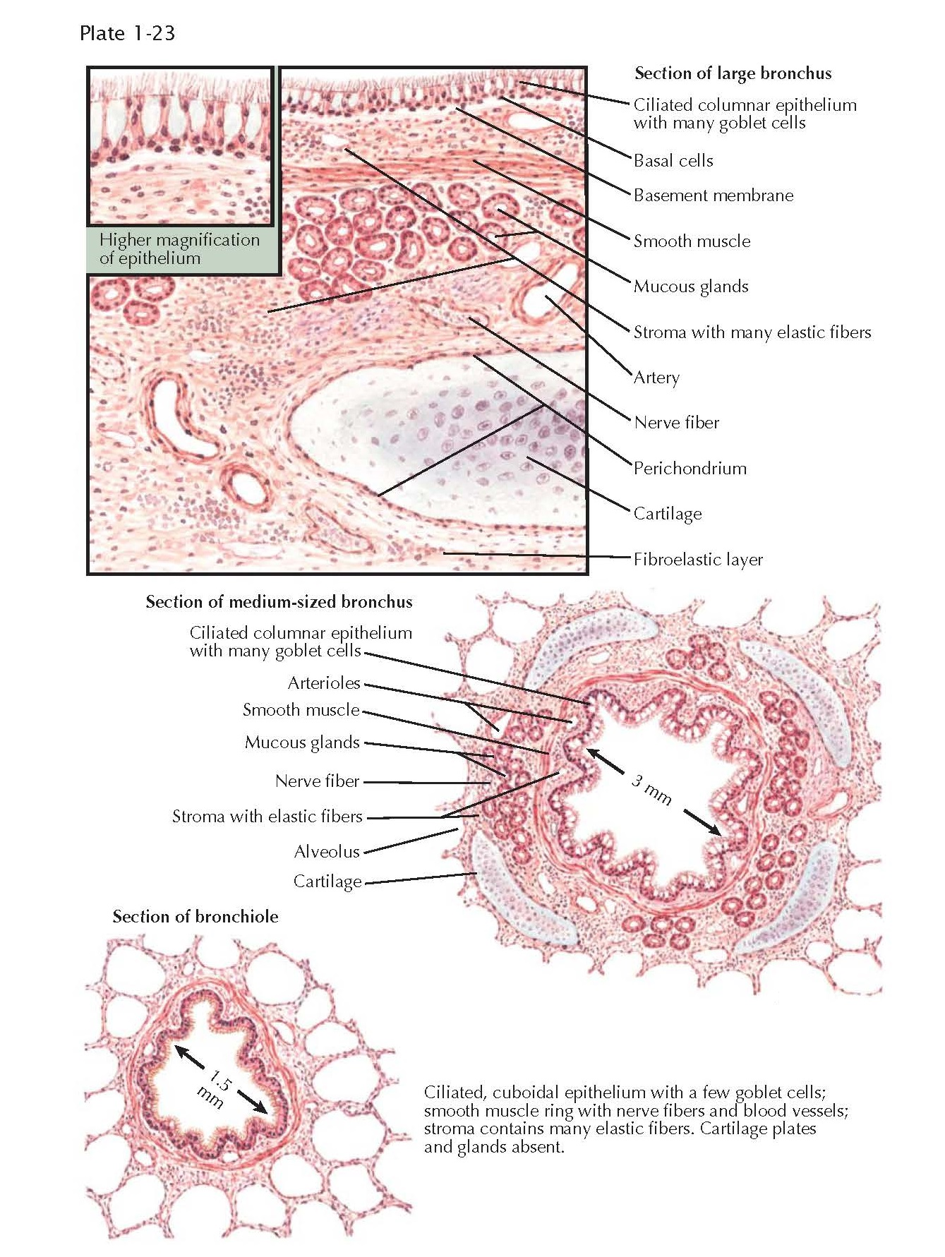 STRUCTURE OF BRONCHI AND BRONCHIOLES LIGHT MICROSCOPY