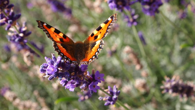 Picture of Butterfly feeding on a stem of English Lavender