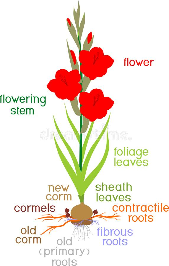 CUT FLOWER CULTIVATION (Floriculture- Gladiolus)