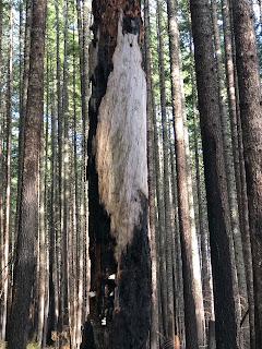 Large Burned Tree