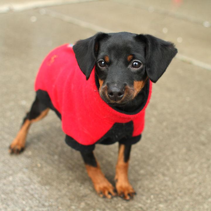 pin miniature pinscher pup - photo #29