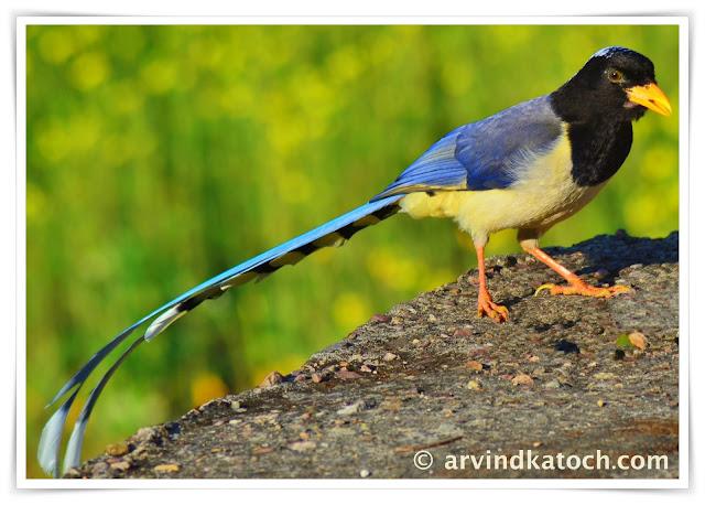 Yellow-billed magpie, magpie, bird,