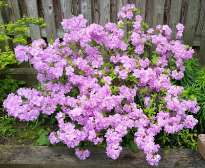 Azalea Belgian Indica Hybrids Developed From Rhododendron Simsii And Unless Noted Are Generally Hardy Zones 8 To 11 Reach Up 6 Feet