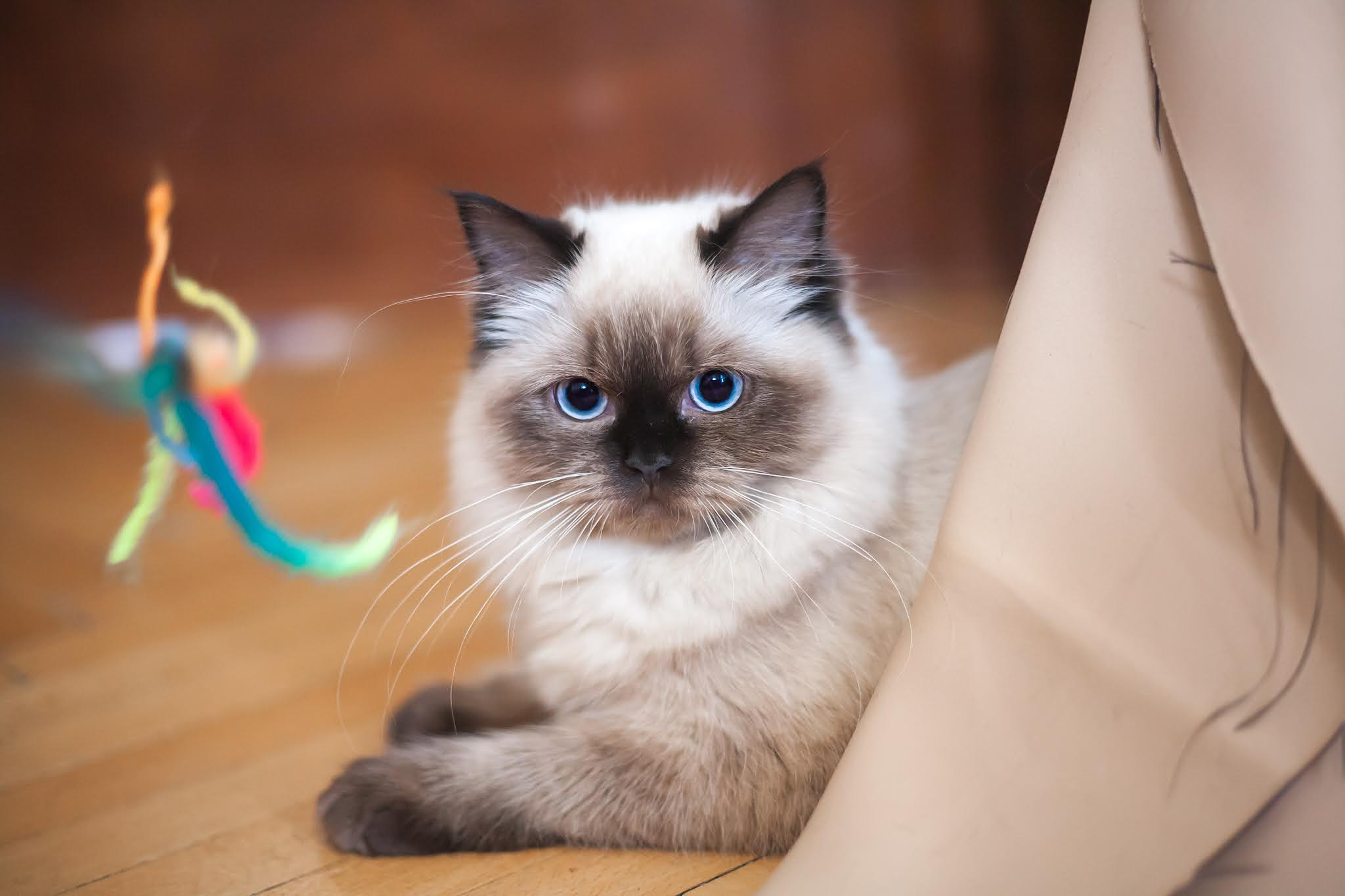 Pets - CAT Communication, Behavior and Intelligence And Their Interaction With Humans