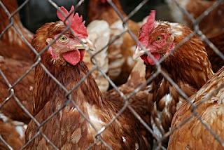 Cara Budidaya Ayam Kampung Asli Yang Menguntungkan Bagi Pemula