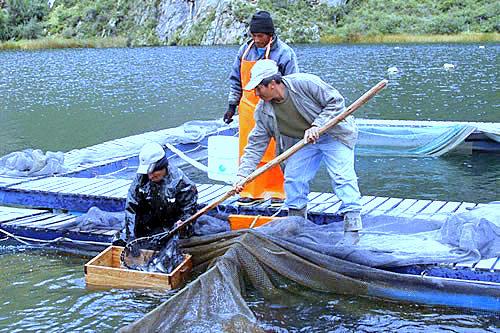 Empresas en per agro crianza de truchas de gran calidad for Crianza de truchas en lagunas