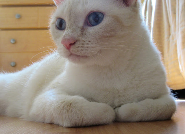 Sugarbear the cat