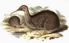kiwi moteado menor Apteryx owenii