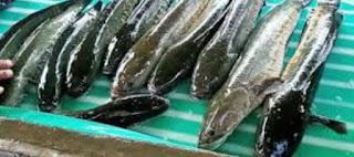 Masa Panen Ikan Gabus, Umur Ikan Gabus  Siap Panen Dan Bobot Ideal Yang Diminati Pasar