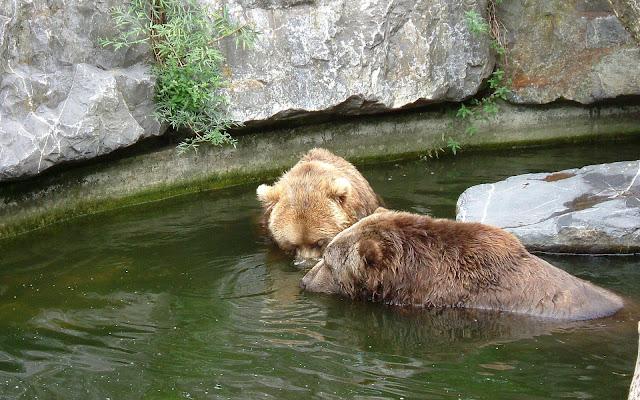 Beren in het water bij dierentuin Emmen