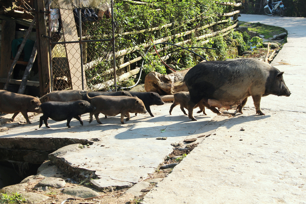 Wild pigs in Sapa, Vietnam - travel blog