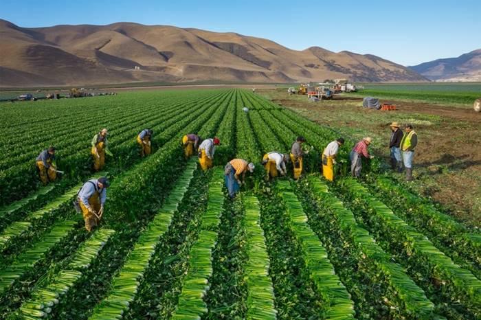 California Celery Harvest