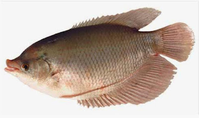 budidaya ikan air payau