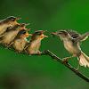 Rebusan Telur Puyuh Untuk Burung Ciblek Rajin Berkicau