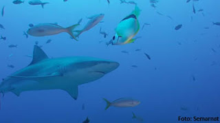 Amaranto, una alternativa para sustituir al escualeno de tiburón