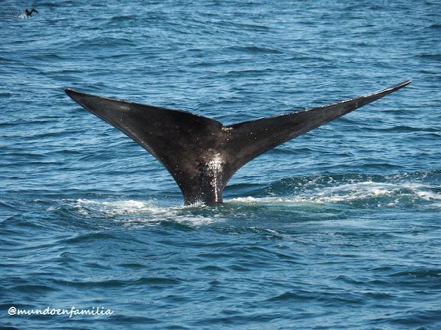 Cola de una ballena franca austral