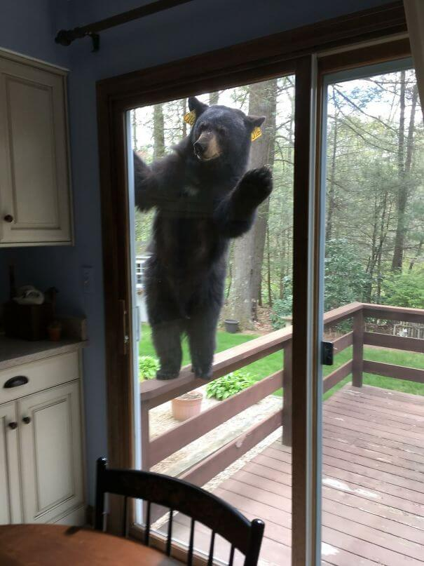 40 Heartwarming Pictures Of Animals - Bear Smells Brownies, Tries To Get Inside