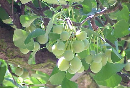 What are the Benefits of Ginkgo Biloba for Brain Health