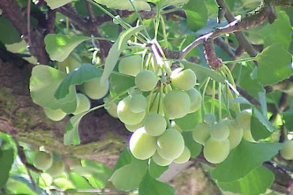 What are the Benefits of Ginkgo Biloba for Brain Health?