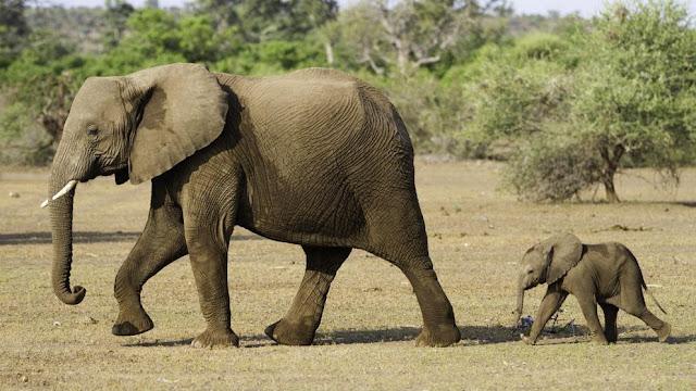 Los elefantes son animales con gran capacidad de memoria