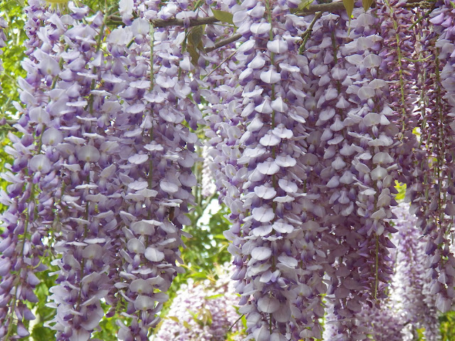 Wisteria © Sid's Sea Palm Treasures 2010-2017