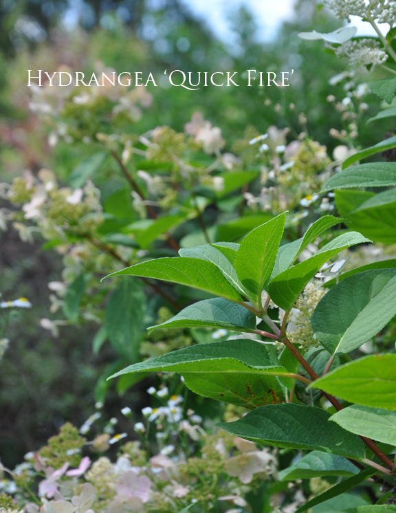 Three Dogs in a Garden: Hydrangeas: Care Basics/ Old u0026 New Varieties