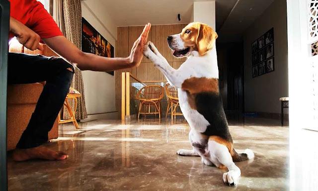 9 Fakten über Beagles, die Sie nicht wussten!