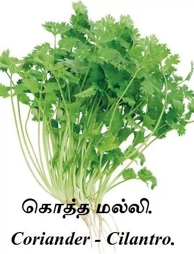 கொத்தமல்லி - Coriander - Cilantro - Coriandrum sativum.