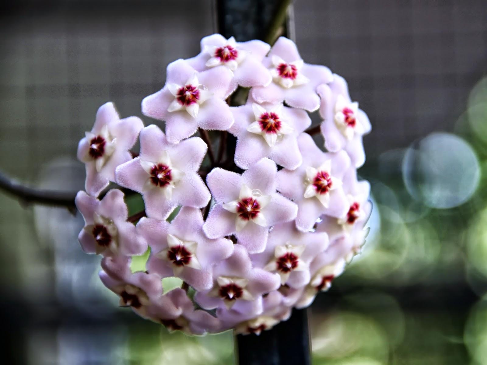 Flor de clepia en forma de balón