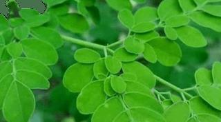 gambar daun kelor