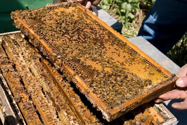 Βγάζουμε περισσότερο μέλι από τα μελίσσια: Γιατί κάνουμε τροφοδοσία; Μέθοδος μελισσοκόμου