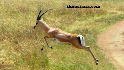Grant's Gazelle hewan cepat